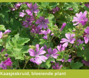 Kaasjeskruid, bloeiende plant