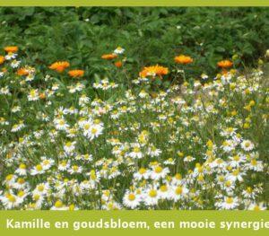 Kamille en goudsbloem, een mooie synergie